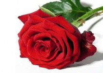 Sobre rosas e espinhos
